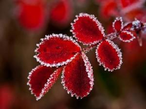 Postal: Hojas rojas con los bordes congelados