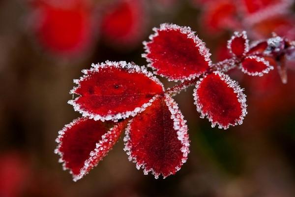 Hojas rojas con los bordes congelados