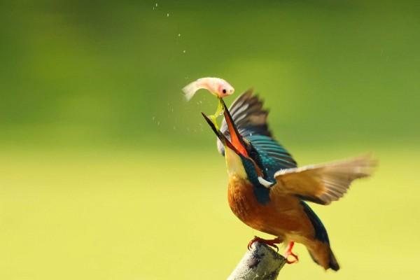 Pájaro con un pez en el pico