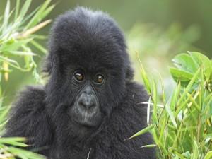 Postal: Pequeño gorila