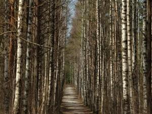 Camino entre árboles delgados