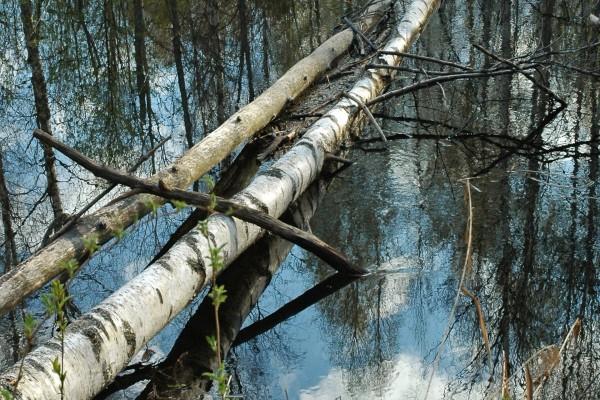 Árboles caídos en el río