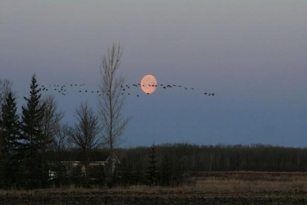 Aves cruzando el cielo junto a la luna