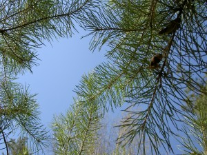 Postal: Ramas de un pino