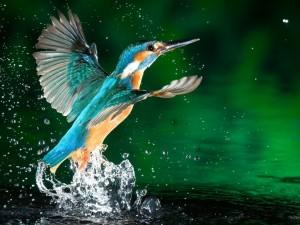 Colibrí aleteando en el agua
