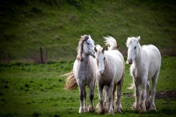 Cuatro distinguidos caballos blancos