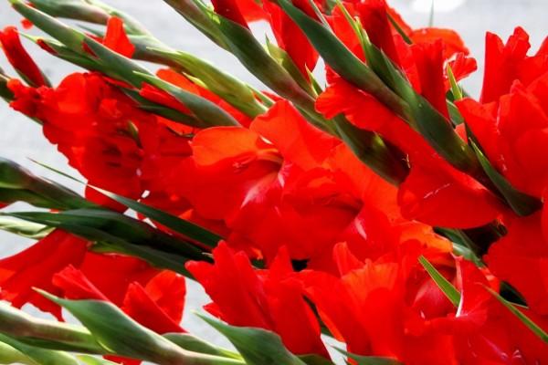 Ramo de gladiolos rojos