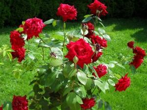 Postal: Planta de rosas rojas