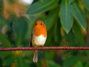 Pájaro con el pecho naranja