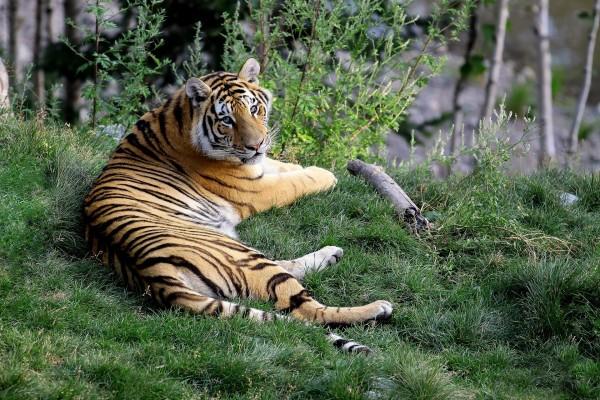 Bonito tigre tumbado en la hierba