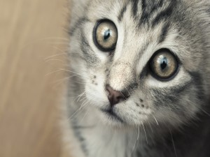 Gatito mirando atento