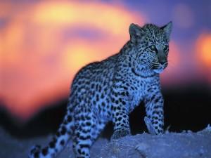 Cachorro de guepardo en la noche