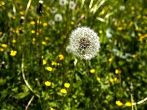 Flor diente de león entre flores amarillas