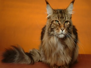 Postal: Gato con orejas puntiagudas