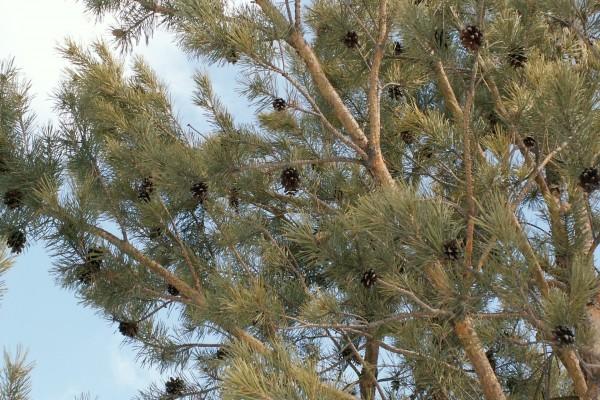Piñas en las ramas de un pino