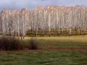 Postal: Campo de árboles blancos