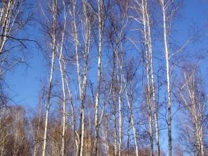 Postal: Árboles bajo un cielo azul