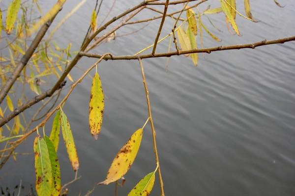 Hojas amarillentas en las ramas