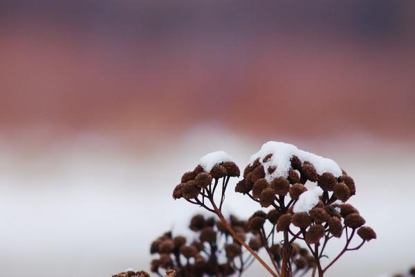 Nieve en las plantas secas