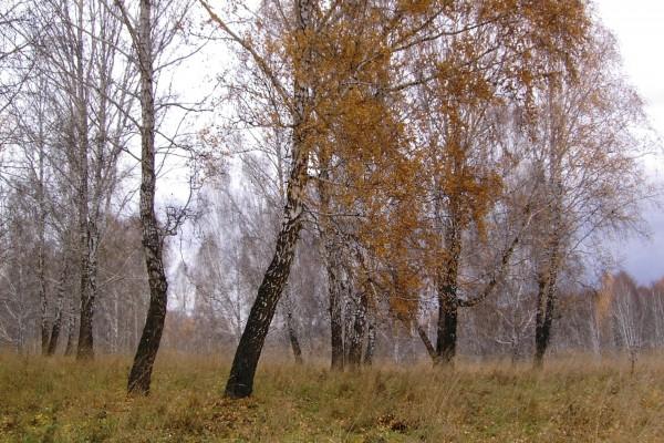 Hojas secas en los árboles
