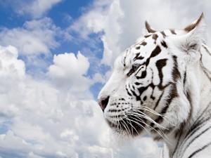 La cabeza de un tigre blanco