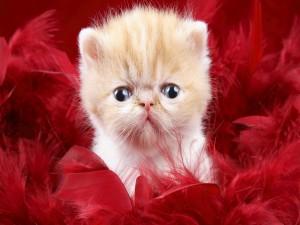 Gatito entre plumas rojas