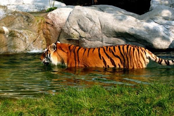 Un tigre en el agua
