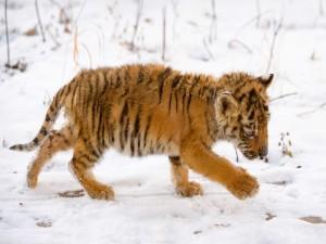 Cachorro de tigre jugando en la nieve