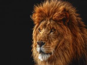 Postal: La mirada del león
