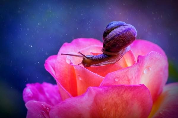 Caracol sobre una rosa