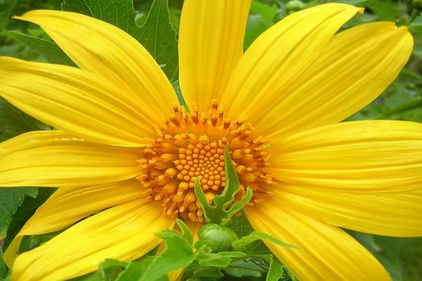 Flor amarilla con grandes pétalos
