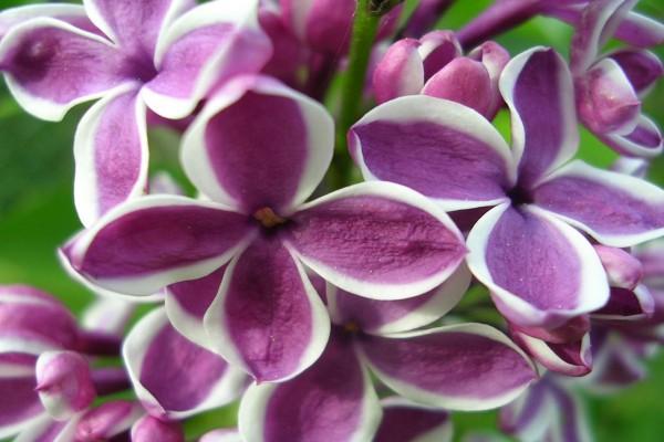 Flores moradas con el borde blanco