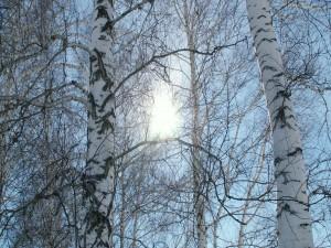 Postal: Ramas de árboles sin hojas