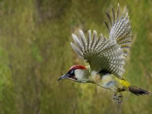 Postal: Pájaro en vuelo