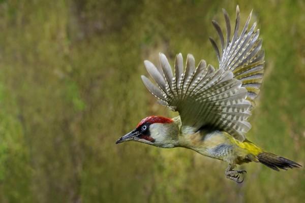 Pájaro en vuelo