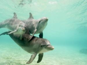 Postal: Delfines bajo el agua