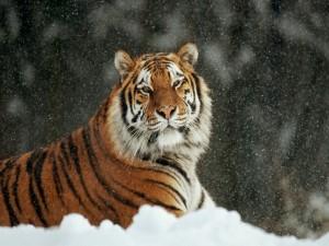 Nieva sobre un gran tigre