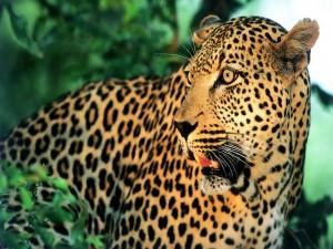 Primer plano de un leopardo