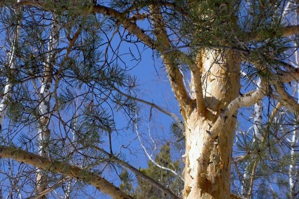 Tronco y ramas de un pino