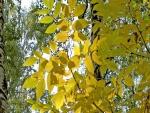 Hojas amarillas en el árbol