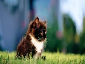Gatito negro con mancha blanca