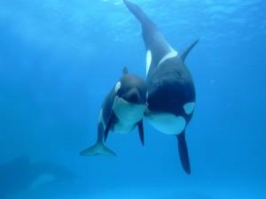 Dos orcas juntas