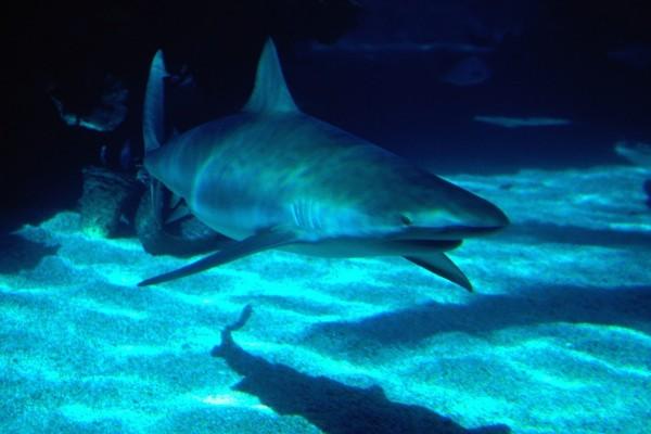 Tiburón en el acuario