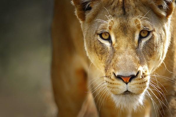 La mirada de la leona