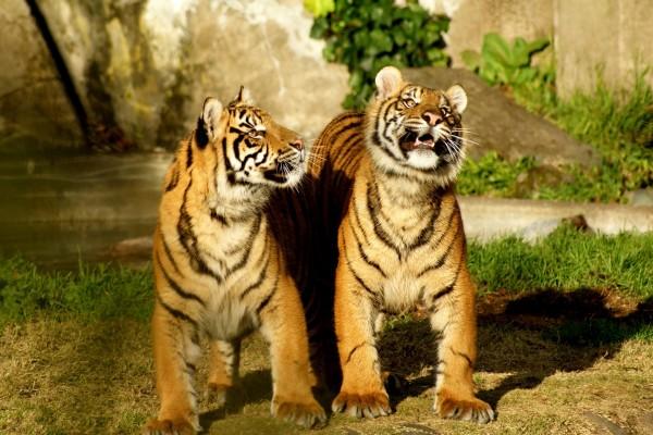 Dos tigres jóvenes