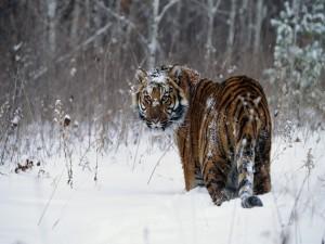 Tigre en un lugar nevado
