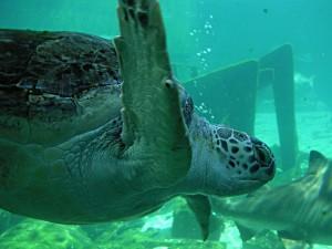 Postal: Tortuga marina en un acuario