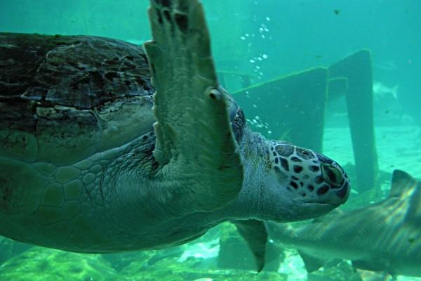 Tortuga marina en un acuario