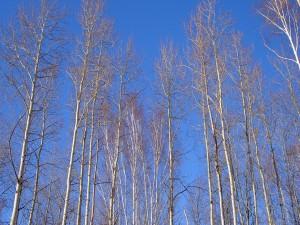 Largos árboles sin hojas