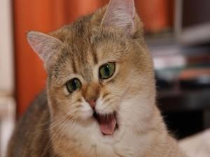 Postal: Gato maullando